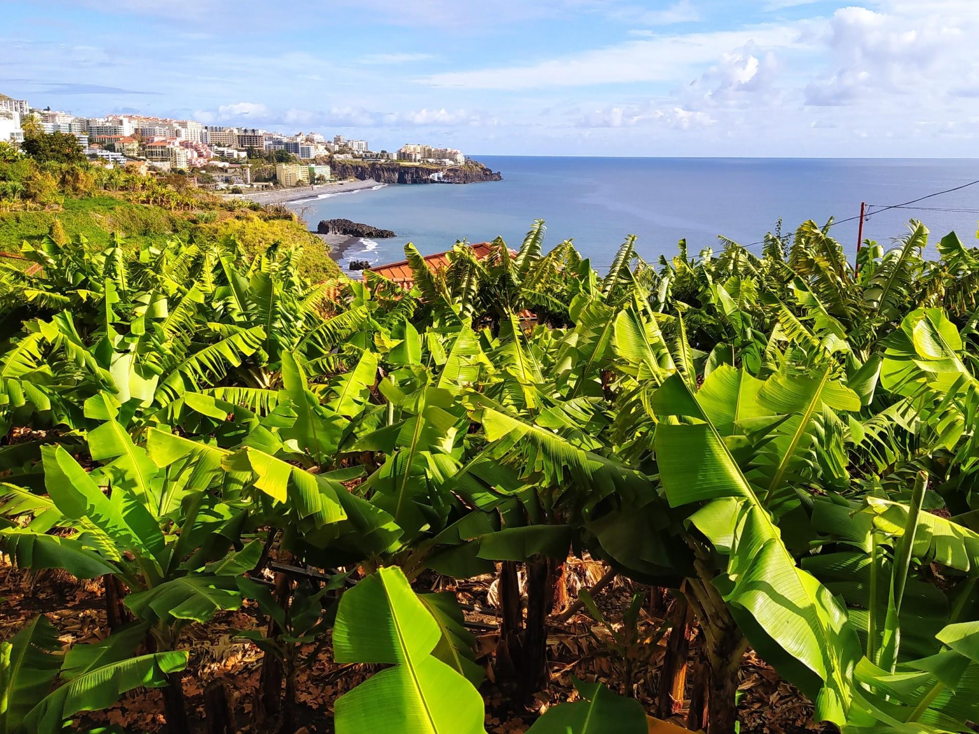 banana-plant-madeira